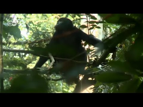 Monkey Whisperer - with bonobos in the Congo | Global 3000