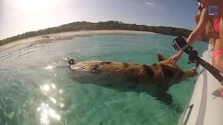 Bahamas Beach is Populated by Pigs