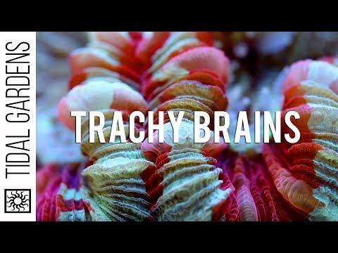 Trachyphyllia vs. Wellsophyllia Brain Corals
