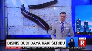 Bisnis Budi Daya Kaki Seribu | REDAKSI SORE (29/04/21)