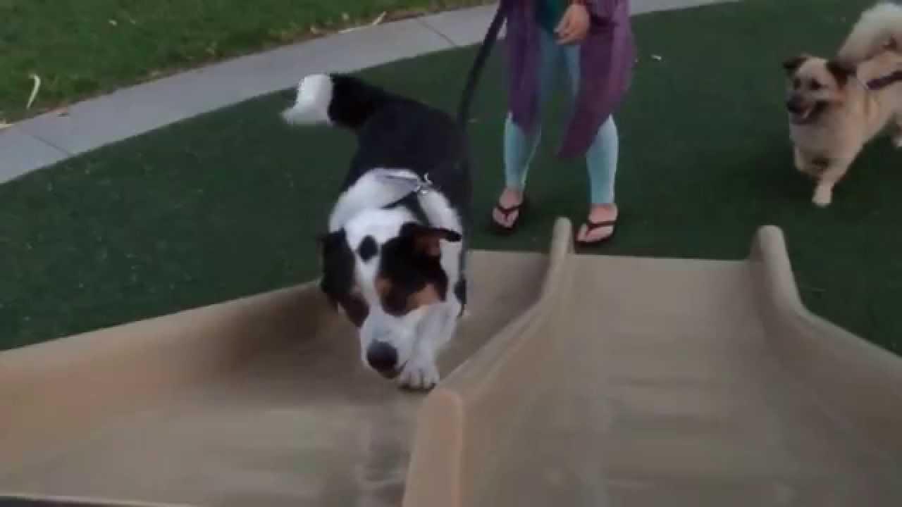 bernese mountain dogcorgi mix bradley sliding youtube