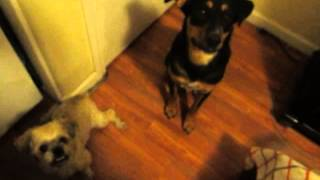 Rottweiler German Shepherd Mix Prices And Shih Tzu Cachito