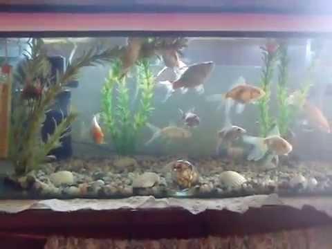 Aquarium milky carp fish - photo#6