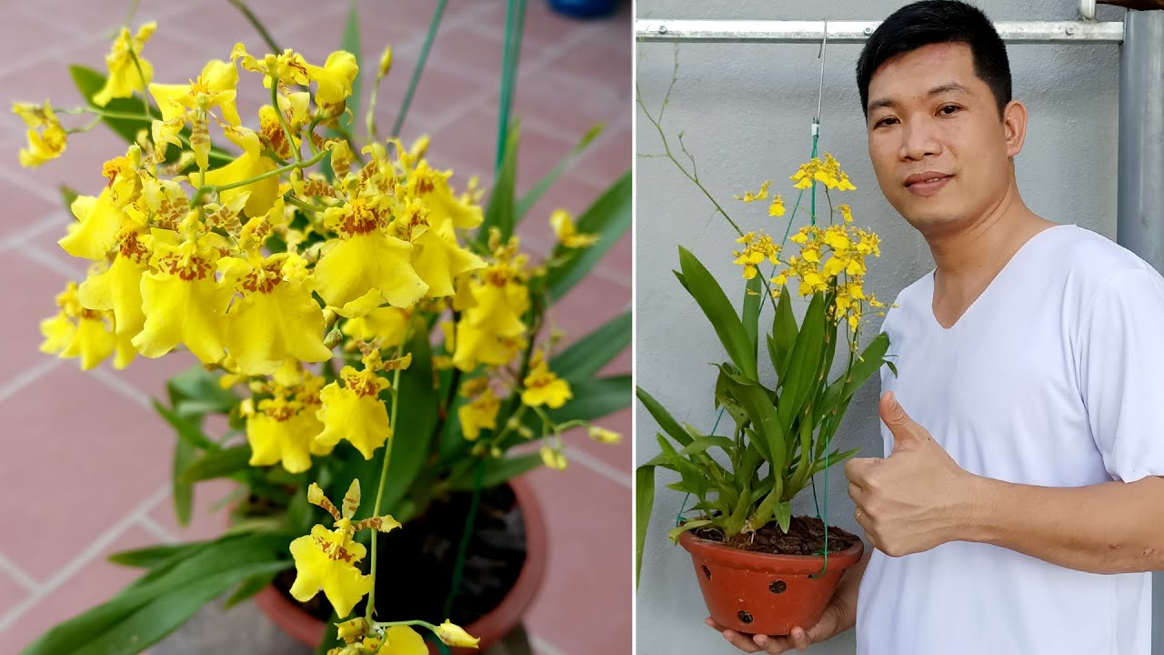 Download Grow Flower Orchid Dancer (Oncidium) Extremely Simple, Maximum Success