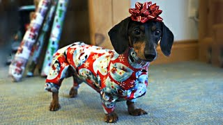 how-to-wrap-and-unwrap-a-dachshund-cute-dog-video