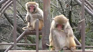 アカゲザル山 (京都市動物園) 2019年1月26日