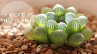 Tiny Succulent Houseplants | Haworthia Repotting + Care Indoors