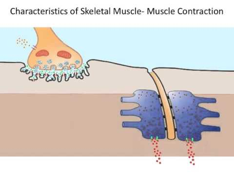 Video- The Muscular System- Muscle Contraction