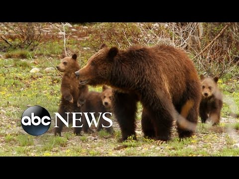 Hiker Likely Killed by Bear in Yellowstone National Park