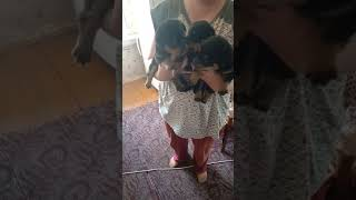 Ротвейлер в наш дом,покупка месячного щенка