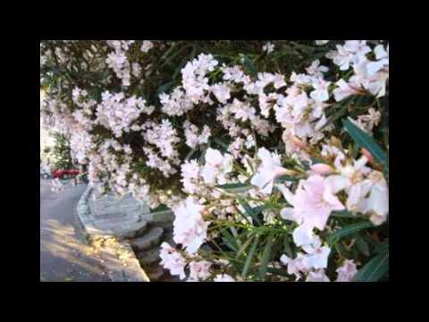 Белый Олеандр — КиноПоиск
