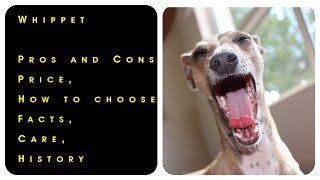 Whippet. Pros and Cons, Price, How to choose, Facts, Care, History