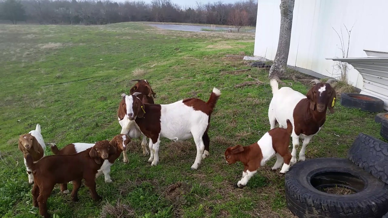 ABGA 100% Registered Boer Goats - These will be for sale local pickup (East  of Dallas, TX)