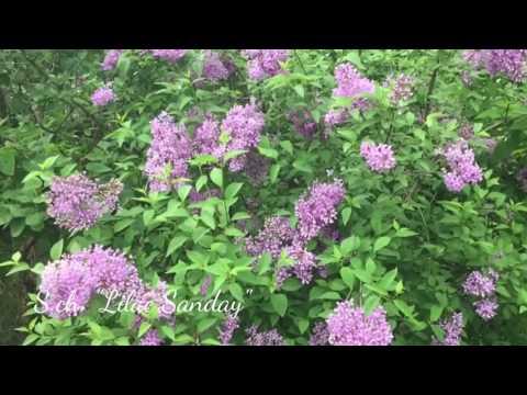 Сирень китайская Sхch. Lilac Sanday