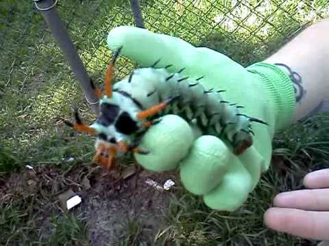 The largest caterpillar EVER