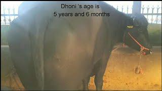 Super Murrah Bull YUVRAJ ' S Family @ Sunariyan, District Kurukshetra HARYANA.