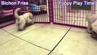 Bichon Frise, Puppies, For, Sale, In, Gresham, Oregon, County, Or, Multnomah, Washington, Clackamas,
