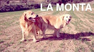 Perros apareándose - La monta en los perros - Clínica veterinaria 24h DOGKING
