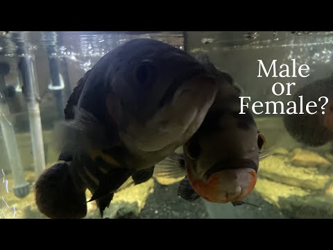 Underwater View   How To Tell If You Have A Male Or Female Oscar