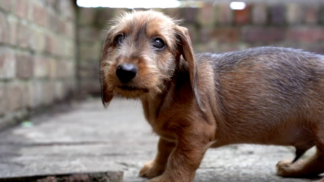 Wilf A Standard Wire Haired Dachshund