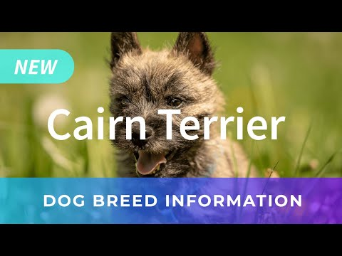 Cairn Terrier Information and Pictures  Chews A Puppy