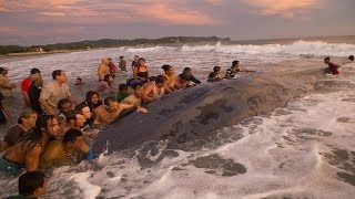 Saving the Whale: People Push to Giant 59ft Beached Whale back out sea in Popoyo Beach - Nicaragua
