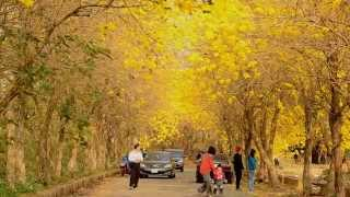 風鈴木-全台最美黃金風鈴木步道 Marvelous Golden Trumpet Tree Sidewalk in Chiayi, Taiwan.