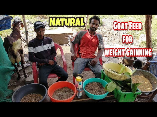 Natural Goat Feed for weight gaining | ??? ?????? ?? ??? ????????? ???? ???? | Watch full video