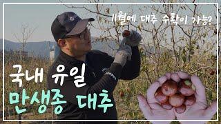 만생종 대추 알아보기 (국내 유일 만생종 대추)