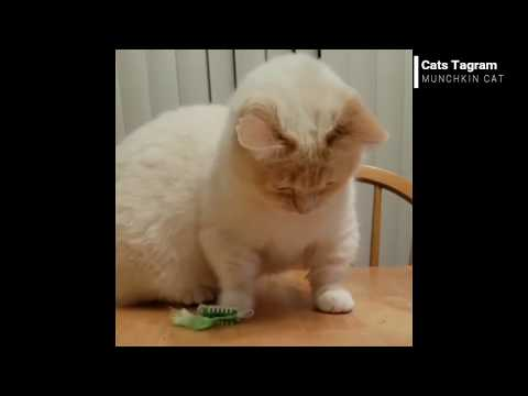 CAT VLOG #6 MUNCHKIN CAT || IG: OTISANDJR || CATS OF INSTAGRAM