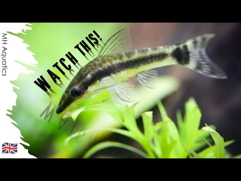 How To Breed Otto Fish | Breeding Otocinclus
