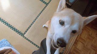 突然、一人で実家に帰ったら普段クールな柴犬がありえないぐらい喜んでくれたw