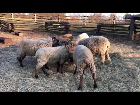 hog island sheep eating at mt vernon va george washington s home