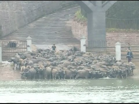 Buffaloes Cross River in Southwest China City for May Day Holiday