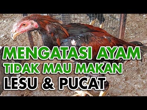 Video Cara Mengobati Penyakit Kuning Pada Ayam Bk