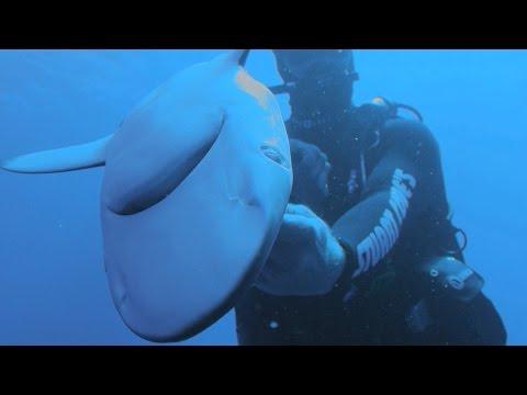 Requins sous hypnose : la démonstration