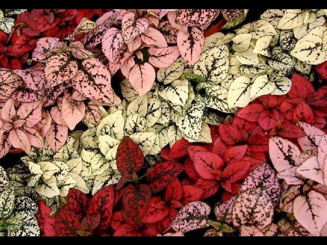 фиттония цветение