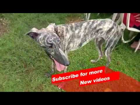 Wow ! Most Amazing Indian dog breeds | Rampur Greyhound |