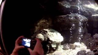 Largest ALLIGATOR SNAPPING TURTLE at Cincinnati Zoo & Botanical Garden