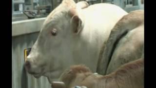 Les races à viande