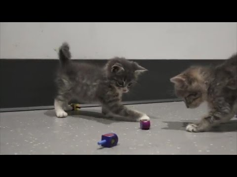 Adorable Kittens Playing With Dreidels