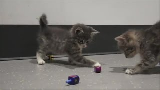 Adorable Kittens Playing With Dreidels thumbnail