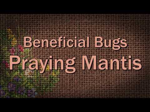 Praying Mantis – Beneficial Bugs