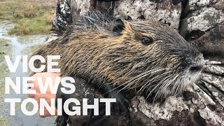 Louisiana Is Paying $6 for Every Swamp Rodent You Can Kill