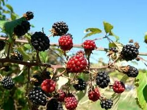 Growing Blackberries Commercially~The Experiment