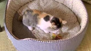 ★捨て猫ムギとコメ☆生後1ヶ月~2ヶ月★ thumbnail