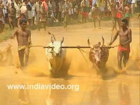 Bull Surfing, Maramadi- Yoked Bulls' Race