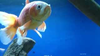 Bad bacterial infection on an expensive fancy Goldfish!