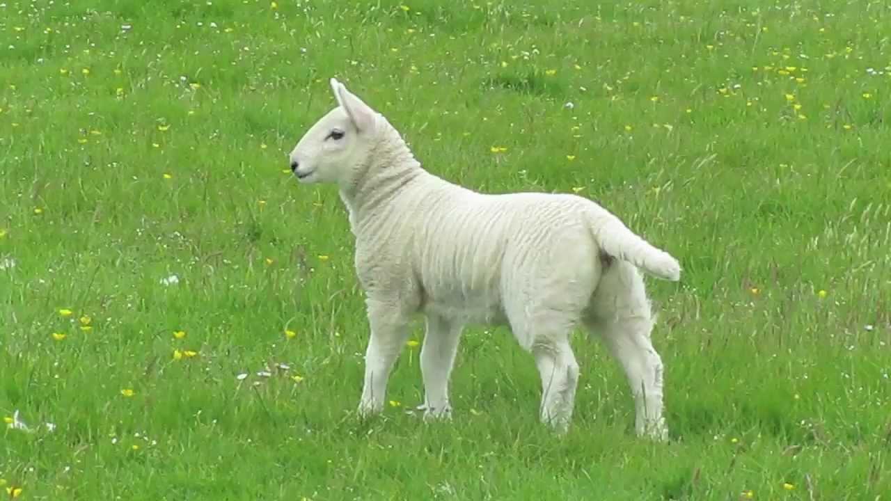 Funny Sheep Jump - YouTube for Happy Lamb Jumping  lp00lyp