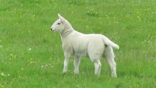 Funny Sheep Jump